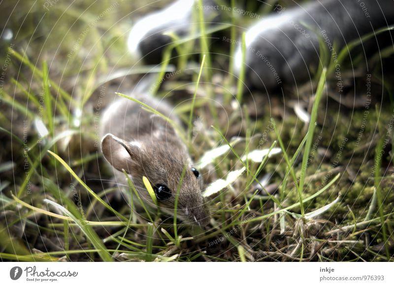 curiosity... Frühling Sommer Gras Garten Wiese Tier Haustier Wildtier Katze Maus Tiergesicht Pfote 2 Jagd krabbeln bedrohlich Todesangst gefährlich Verzweiflung