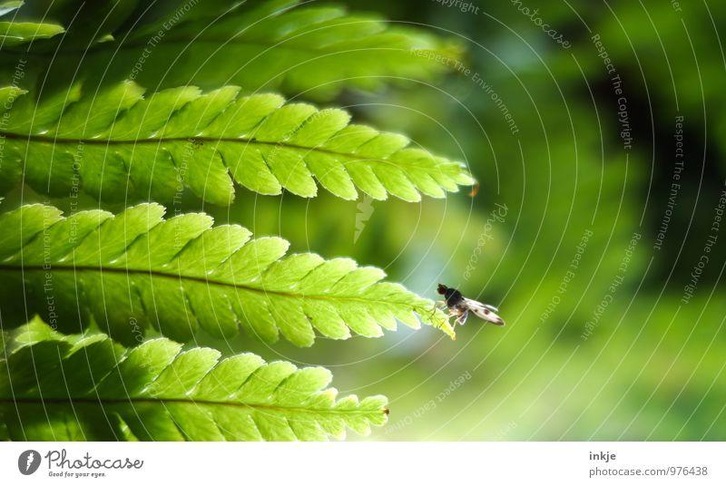 Diese Fliege kann   fliegen Natur Pflanze grün Blatt Tier natürlich klein Fliege sitzen frisch Pause festhalten Am Rand Farn hocken Farnblatt