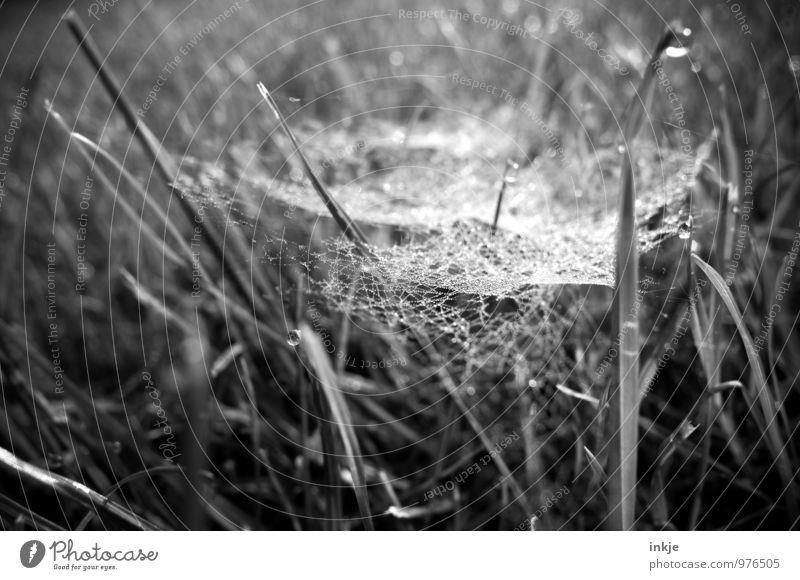 Altweiber Natur Pflanze Wassertropfen Sommer Herbst Gras Spinnennetz Spinngewebe Tau Netz Netzwerk Tropfen hängen natürlich Zusammenhalt leicht gespannt Falle