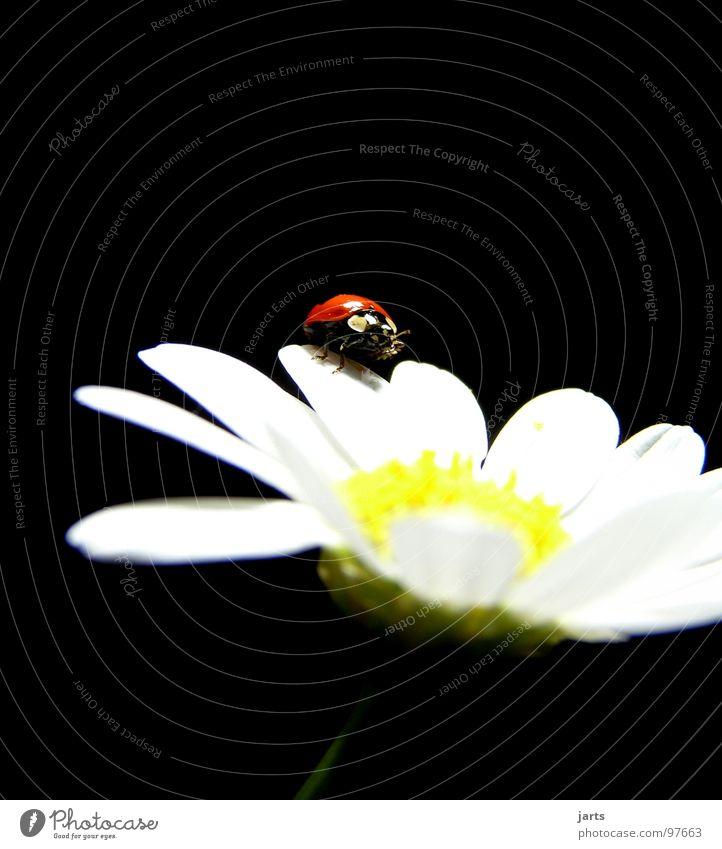 M+M Blume rot Sommer Blüte Punkt Marienkäfer Käfer Margerite
