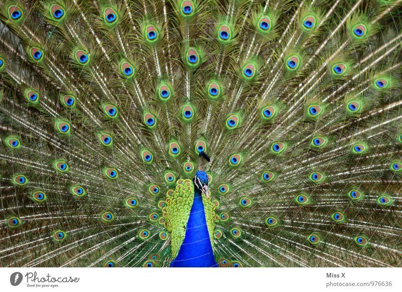 Imponiergehabe Tier Vogel Zoo schön mehrfarbig Gefühle Stimmung Hochmut Stolz eitel Pfau Pfauenfeder Angeben Brunft Farbfoto Außenaufnahme Muster Menschenleer
