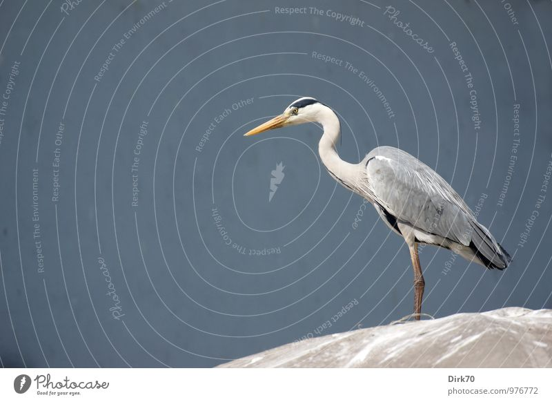 Klassische Pose blau weiß ruhig Tier schwarz gelb Frühling grau Vogel elegant Wildtier stehen warten Schönes Wetter Dach Körperhaltung