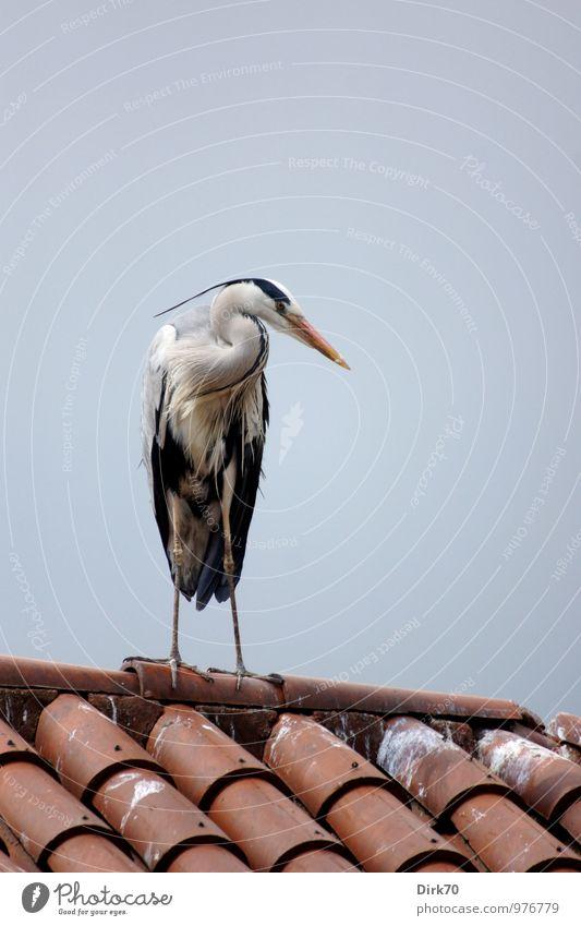 Scheeler Seitenblick Wolkenloser Himmel Schönes Wetter Istanbul Türkei Dach Dachfirst Dachziegel Wildtier Vogel Reiher Graureiher 1 Tier beobachten Blick stehen