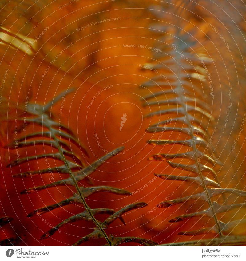 Farntod Natur alt Pflanze Sommer Farbe Tod Leben Wärme Herbst braun orange Romantik Vergänglichkeit Physik trocken getrocknet