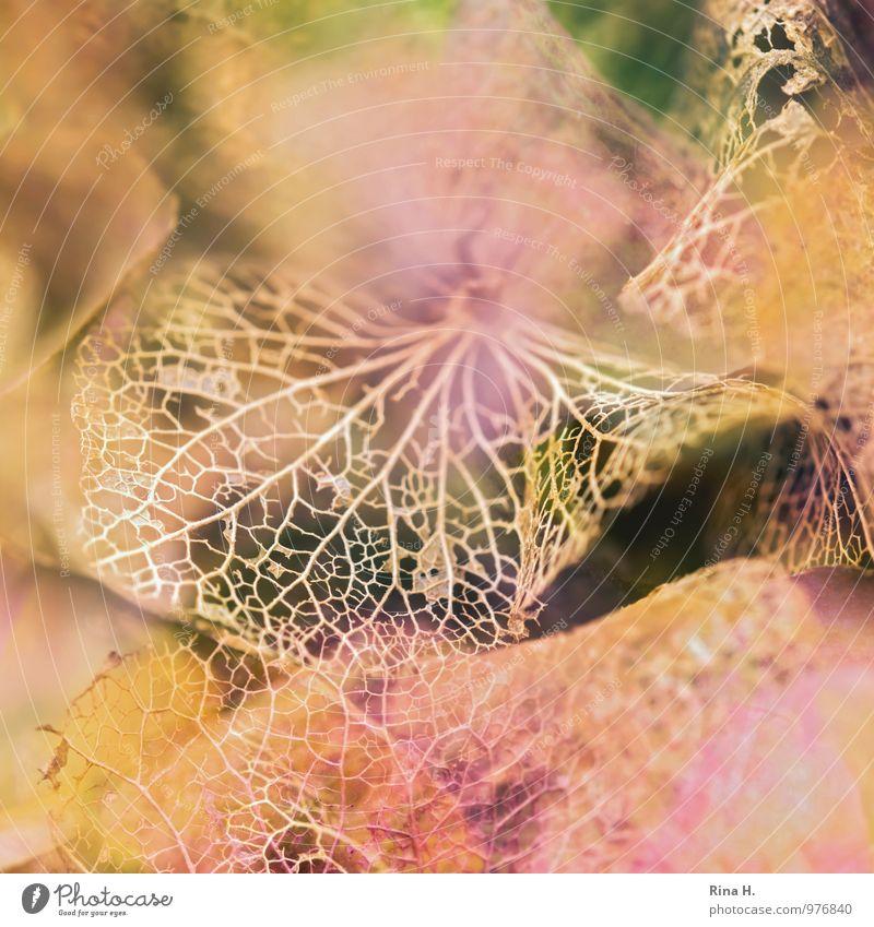 Filigran II Garten Herbst natürlich Vergänglichkeit Wandel & Veränderung Hortensienblüte Blütenblatt filigran zerbrechlich Blattadern Makroaufnahme
