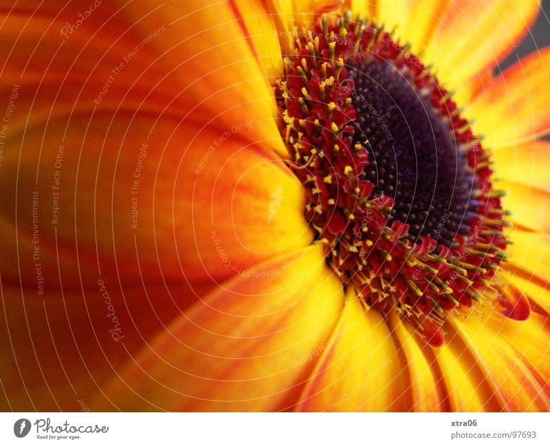 firelike Gerbera Blüte Blütenblatt strahlend zart Blume Pflanze Blütenpflanze rot Verlauf mehrfarbig Sommer sommerlich Physik frisch springen Frühling Beiboot