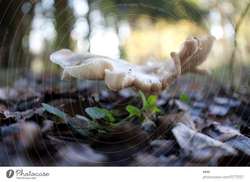 pilz. Umwelt Natur Landschaft Pflanze Erde Herbst Schönes Wetter Wildpflanze Pilz Blatt Laubwald Waldboden Unkraut natürlich Farbfoto Außenaufnahme Nahaufnahme