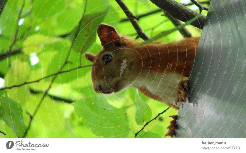 sqirrel grün Blatt ruhig Tier Suche süß Ohr Dach Konzentration Respekt Eichhörnchen rotbraun
