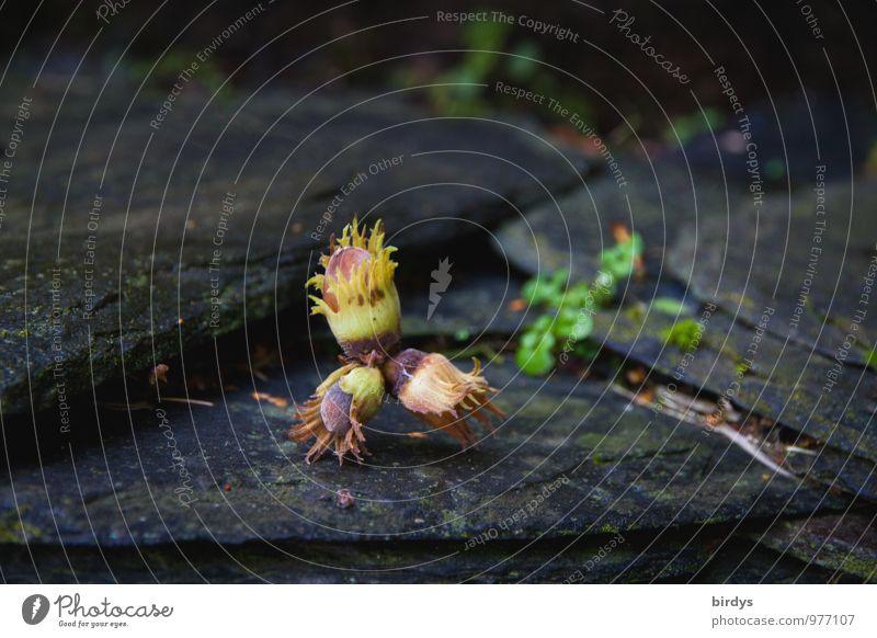 Haselnüsse Haselnuss Herbst Fruchtstand ästhetisch authentisch natürlich ruhig Natur Schiefer 3 Stein Farbfoto Außenaufnahme Menschenleer Textfreiraum links