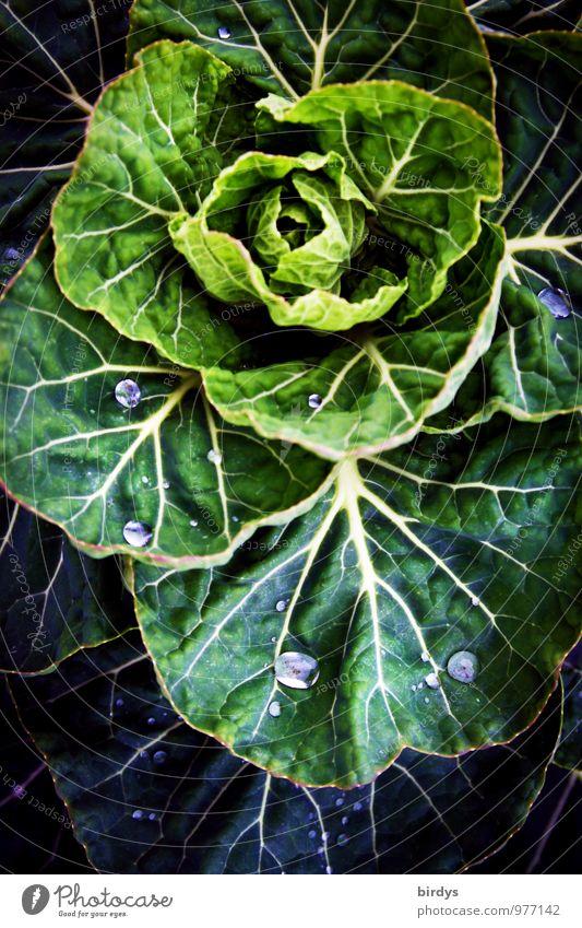 Wintergemüse Gemüse Kohl Pflanze Nutzpflanze Kohlgewächse Blattadern Wassertropfen ästhetisch Originalität positiv gelb grün Natur Wachstum Gemüsebau