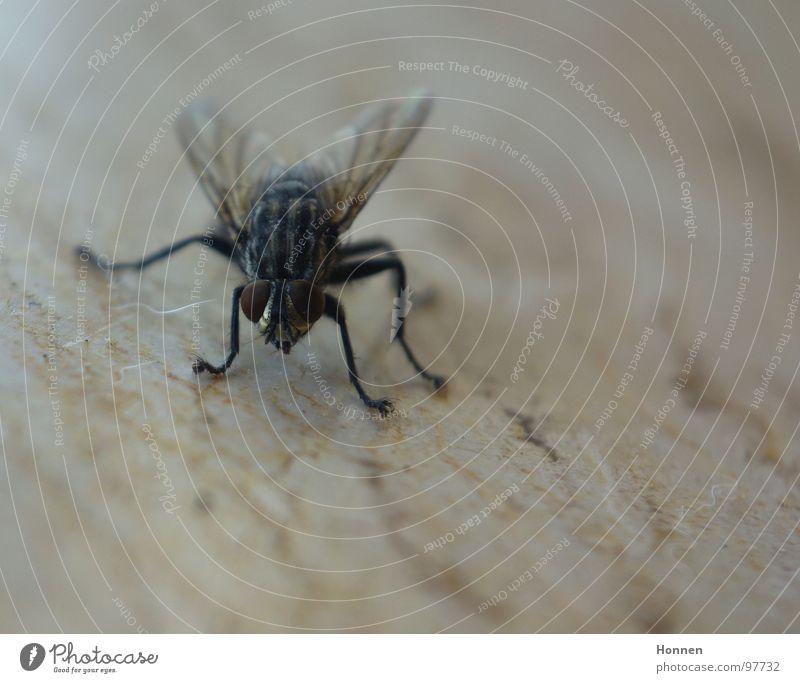 Schräglage Insekt Facettenauge Toilette fluchen Tier Pflanze festhalten Fliege Flügel Beine Fliegenklatsche rechnen brummen. Dreckvieh Musca domestica Punk