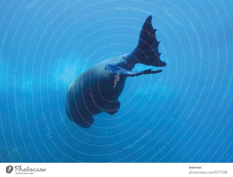 Kehrseite Tier Wildtier Aquarium Walroß Flosse 1 Wasser Schwimmen & Baden gigantisch groß nass blau Heimweh Fernweh Einsamkeit Natur träumen Traurigkeit