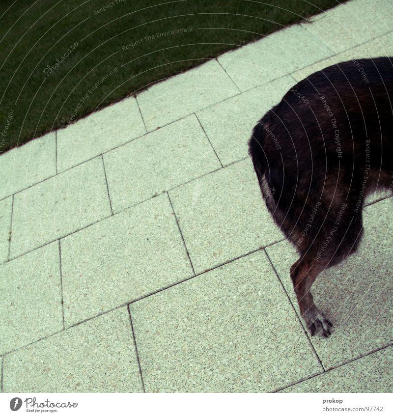 Dame im Herbst Hund gepflegt aufräumen grau Krallen Wiese Pfote Steinplatten Gras Ecke Quadrat Tier Haustier Hinterteil Säugetier Vergänglichkeit Kraft laufen