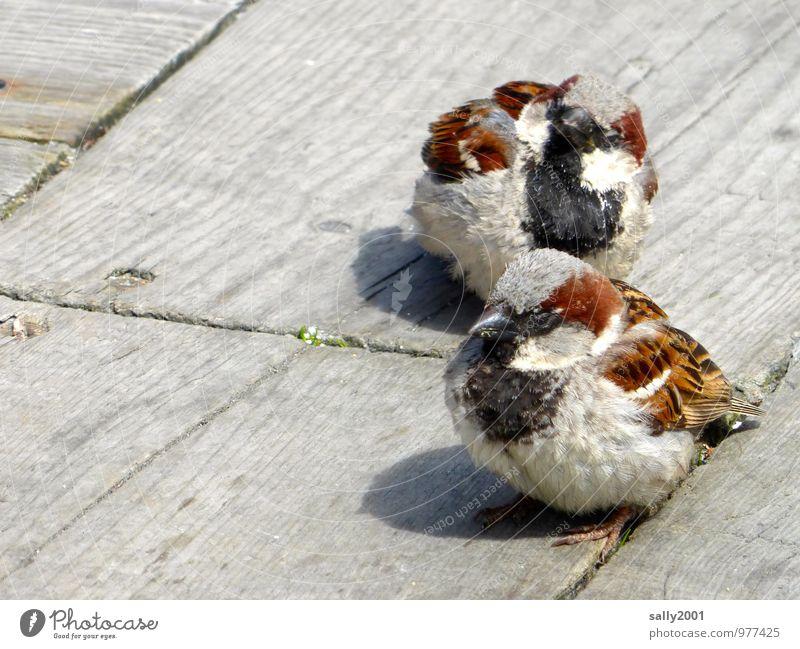 außergewöhnlich |...süß und frech... Tier Vogel Spatz Sperlingsvögel 2 beobachten füttern warten schön listig Neugier braun selbstbewußt Einigkeit Tierliebe
