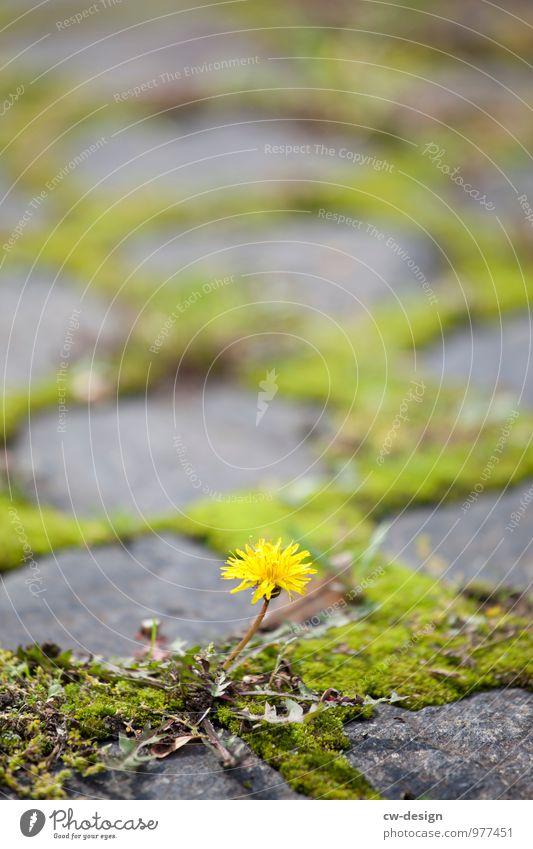 Zukünftige Pusteblume Umwelt Natur Pflanze Schönes Wetter Blume Moos Grünpflanze Nutzpflanze Wildpflanze Löwenzahn Garten Park Wiese Altstadt Blühend kämpfen
