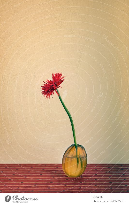 PuschelGerbera Lifestyle Innenarchitektur Dekoration & Verzierung Blume ästhetisch Stillleben Glasvase Tischwäsche Neigung Farbfoto Innenaufnahme Studioaufnahme