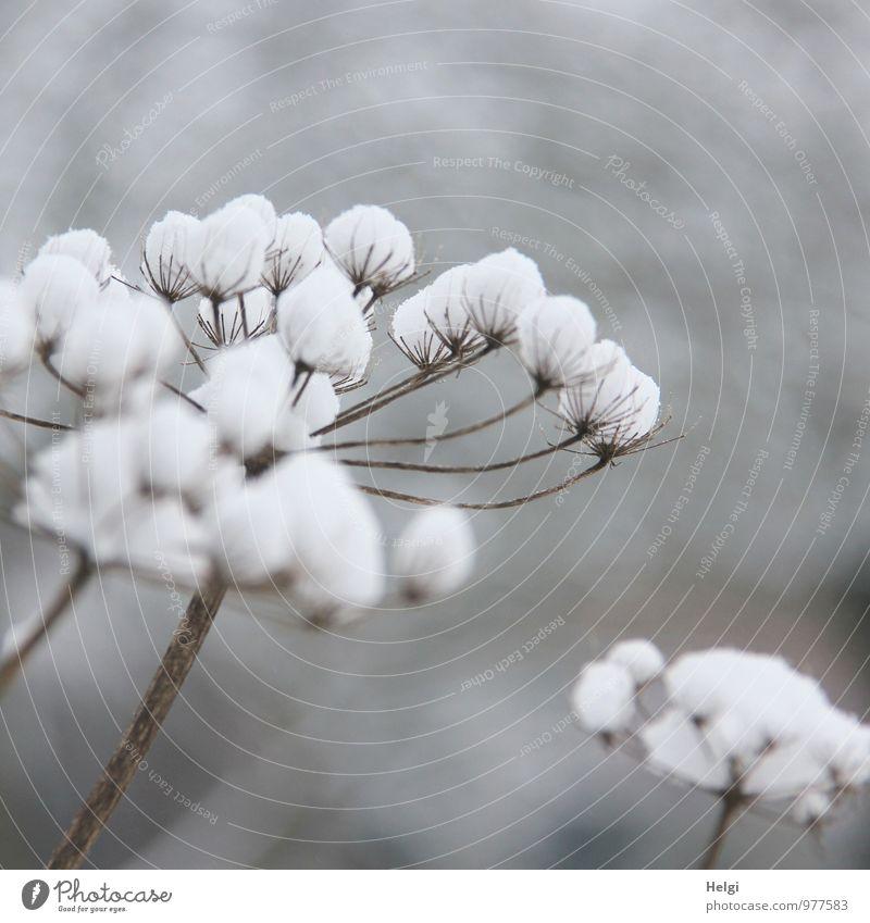 weiße Weihnacht... Natur Pflanze schön Blume ruhig Winter Umwelt Schnee natürlich grau außergewöhnlich braun Stimmung Feld Ordnung