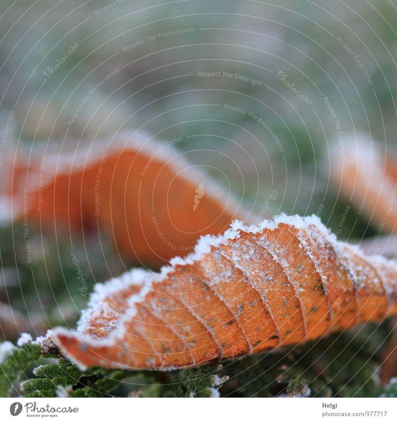 eiskalt... Umwelt Natur Pflanze Winter Eis Frost Blatt Park frieren liegen dehydrieren ästhetisch authentisch außergewöhnlich natürlich braun grau weiß Stimmung