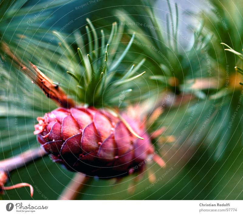 Zapfen Natur Baum grün Pflanze ruhig Berge u. Gebirge Samen Baumrinde Nadelbaum Tannennadel Fortpflanzung Lärche