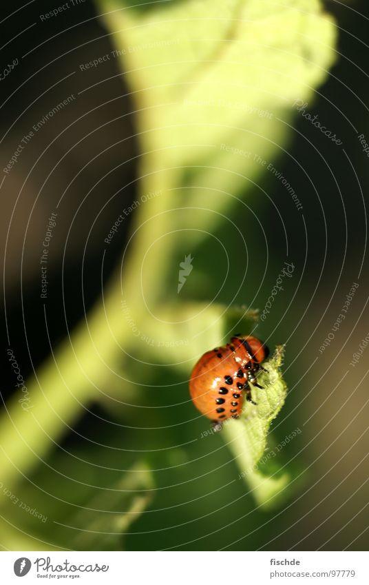 niemals satt Kartoffelkäfer Plage Insekt klein krabbeln Balkon Larve Fressen Käfer Natur Schädlinge Garten Pflanze Kartoffeln