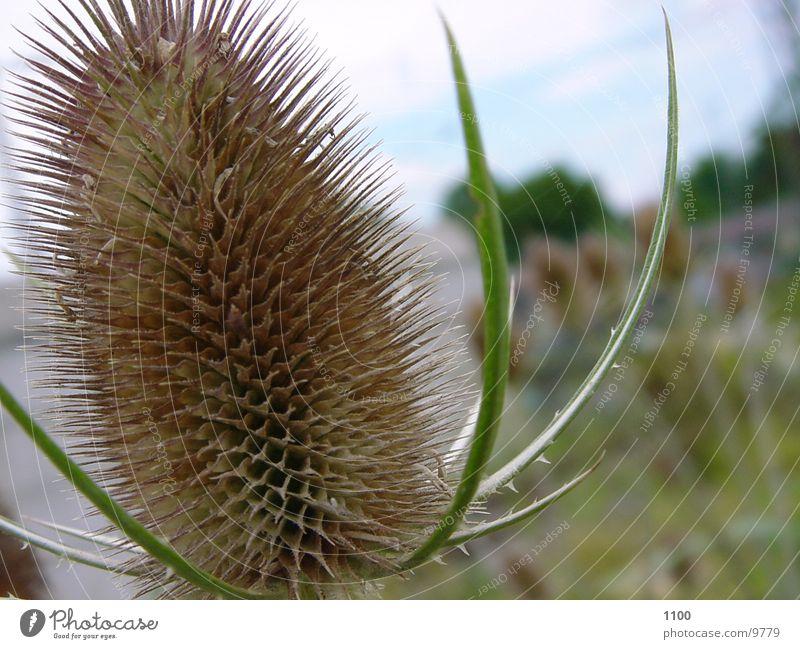 Stachelig Pflanze stachelig