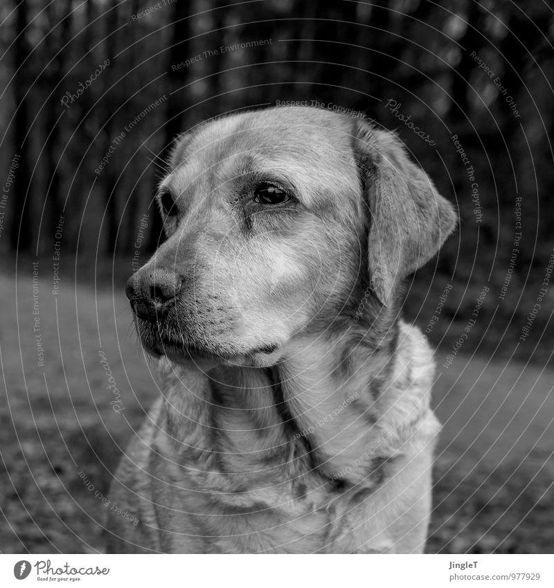 madame trübsinn Umwelt Natur Tier Haustier Hund Labrador 1 beobachten natürlich grau schwarz weiß Traurigkeit Sehnsucht Schwarzweißfoto Außenaufnahme