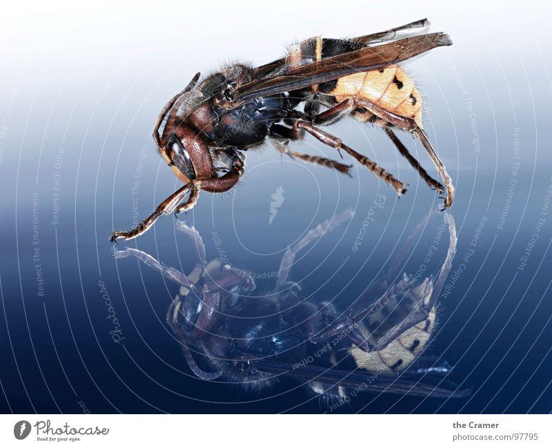 Hornisse Hornissen Wespen Reflexion & Spiegelung Insekt Verlauf gelb F/A-18D Hornet Makroaufnahme Nahaufnahme Angst Panik blau Respekt Detailaufnahme Flügel