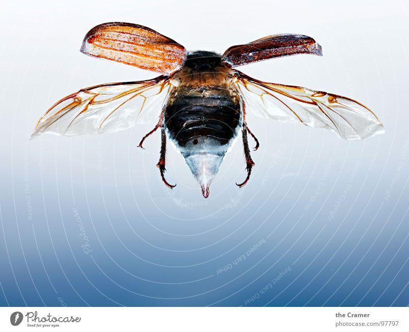 Maikäfer 02 blau springen Frühling Flügel Insekt Verlauf Schiffsbug