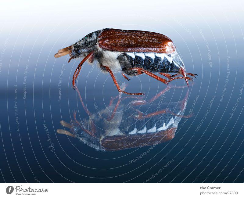 Maikäfer01 Reflexion & Spiegelung Insekt Verlauf Frühling Schiffsbug springen blau Detailaufnahme Flügel blue insect may