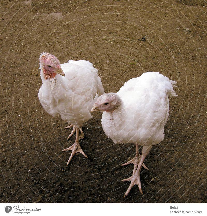 zwei weiße Puten flanieren auf einem Bauernhof Federvieh Vogel 2 gefiedert Zehen Krallen Schnabel Landwirtschaft auslaufen braun rosa Blick Schwärmerei gehen