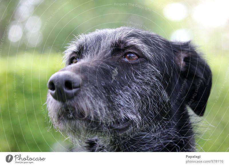 Hunde-Silberrücken Tier 1 beobachten Blick warten alt Unendlichkeit Neugier grau schwarz Freundschaft Tierliebe Treue Mitgefühl Verantwortung Wachsamkeit