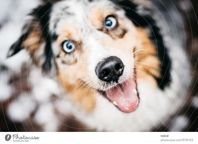 Happy Hund blau schön weiß Tier schwarz lachen braun Schneefall Zufriedenheit sitzen Lächeln nah Tiergesicht frech atmen