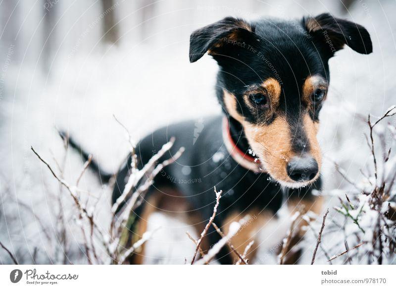 Auf den Hund gekommen Pt.4 Natur schön weiß Tier schwarz Wald Auge Schnee braun Sträucher stehen beobachten Suche Ohr Fell