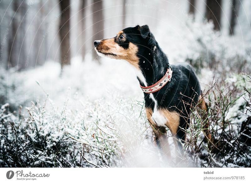 Was ist denn da hinten los ? Hund Natur Pflanze schön weiß Baum Tier schwarz Wald Schnee klein braun Idylle Sträucher beobachten Neugier