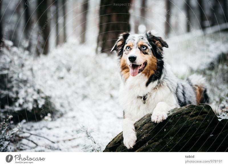 Australian Shepherd Natur Landschaft Pflanze Winter Baum Gras Sträucher Wald Felsen Haustier Hund Tiergesicht Fell Pfote 1 beobachten liegen schön kuschlig