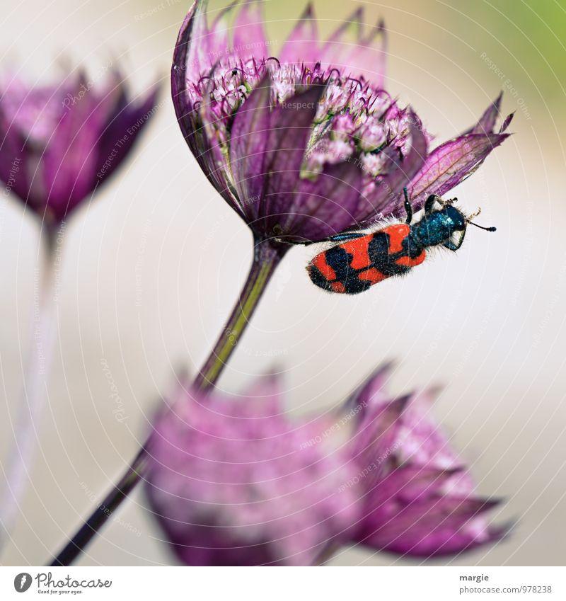 Keine Biene - Bienenkäfer Natur Pflanze schön rot Blume Tier schwarz Umwelt Blüte Garten Wachstum Wildtier Sträucher Blühend Schönes Wetter festhalten