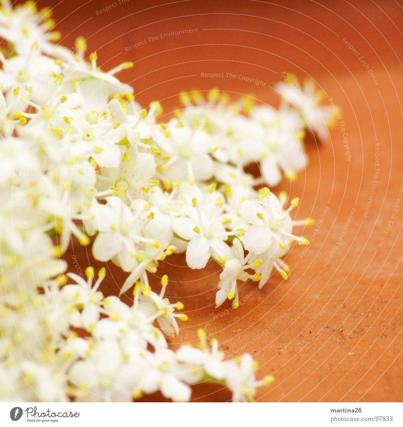 Hollerbusch Blüte Blume zierlich zart mehrere Doldenblüte Holunderblüte weiß filigran Duft Pflanze Holunderbusch essbar Dekoration & Verzierung Frühling viele
