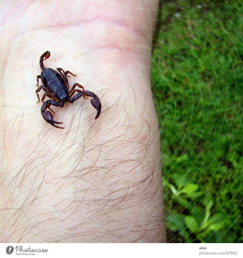 Skorpion 2 Felsenskorpion Gast Gift Tier Reptil Angst Panik gefährlich camping zelt akai untermieter