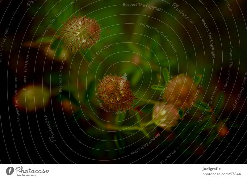 Wiese Heide Blüte Blume Pflanze Stengel braun schwarz Sommer Umwelt Wachstum gedeihen schön Farbe Wildtier Natur einfach Heilpflanzen
