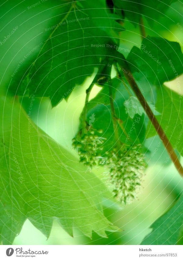 Wenn ich groß bin... grün Blatt Frühling frisch neu Wein Alkohol dumm Weintrauben Ernte unreif Weinblatt Traubensaft