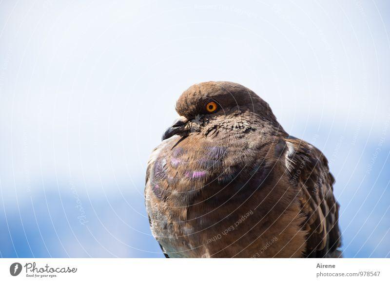 Taube auf dem Dach Tier Vogel 1 beobachten sitzen glänzend schön blau braun mehrfarbig selbstbewußt Friedenstaube wildtaube Auge Misstrauen Wachsamkeit Farbfoto