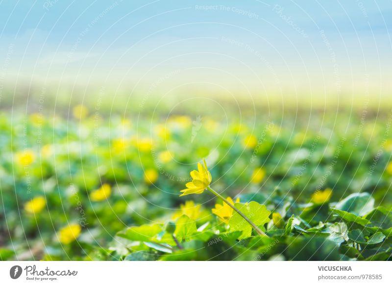 Wildes Hahnenfuß Feld in Frühjahr Stil Design Garten Umwelt Natur Landschaft Himmel Horizont Sonnenlicht Frühling Sommer Schönes Wetter Blume Blüte Park Wiese