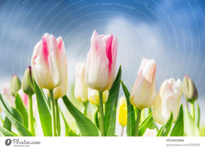 Rosa weiße Tulpen auf den bewölkten Himmel Natur blau Pflanze Sommer Blume Blatt Wolken Blüte Frühling Stil Garten rosa Park Lifestyle