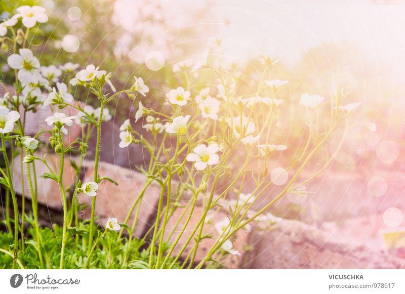 Weiße Saxifraga Arendsii Blumen im sonnigen Steingarten Natur Pflanze Sommer Wärme Frühling Stil Hintergrundbild Garten rosa Park Freizeit & Hobby Design