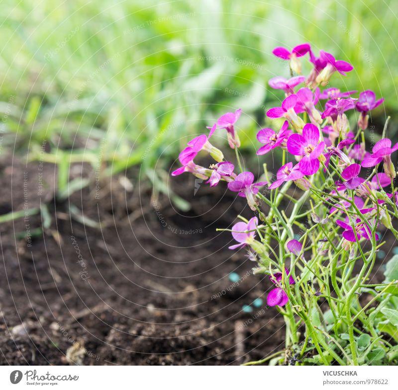 Rosa Arabis Blumen auf dem Beet im Garten Natur Pflanze Sommer Gras Frühling Stil springen rosa Park Erde Design Schönes Wetter violett Blumenbeet