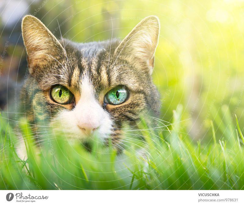 Katze mit rosa Nase und verschiedene Augen Stil Garten Natur Pflanze Tier Frühling Sommer Park Wiese Feld Haustier 1 Verschiedenheit Farbe Augenfarbe Gras Rasen