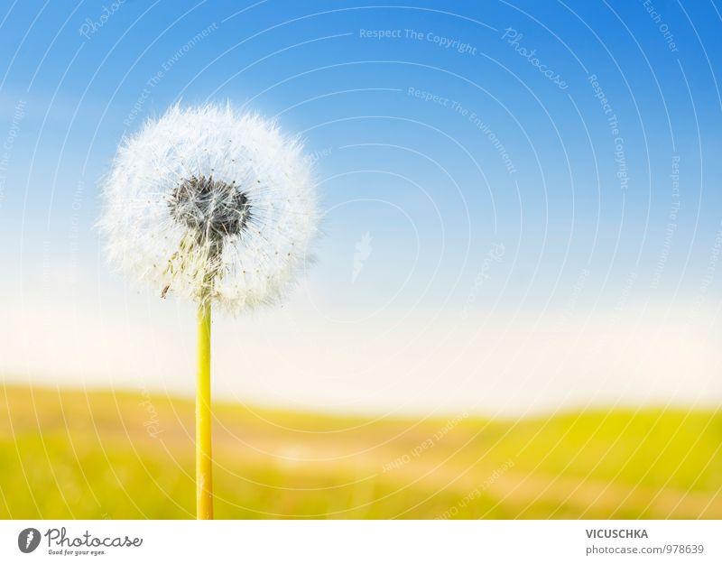 flauschigen weißen Löwenzahn auf sonnigen Landschaft Himmel Natur Sommer Sonne Blume gelb Wiese Garten springen Park Feld Design Symbole & Metaphern Löwenzahn
