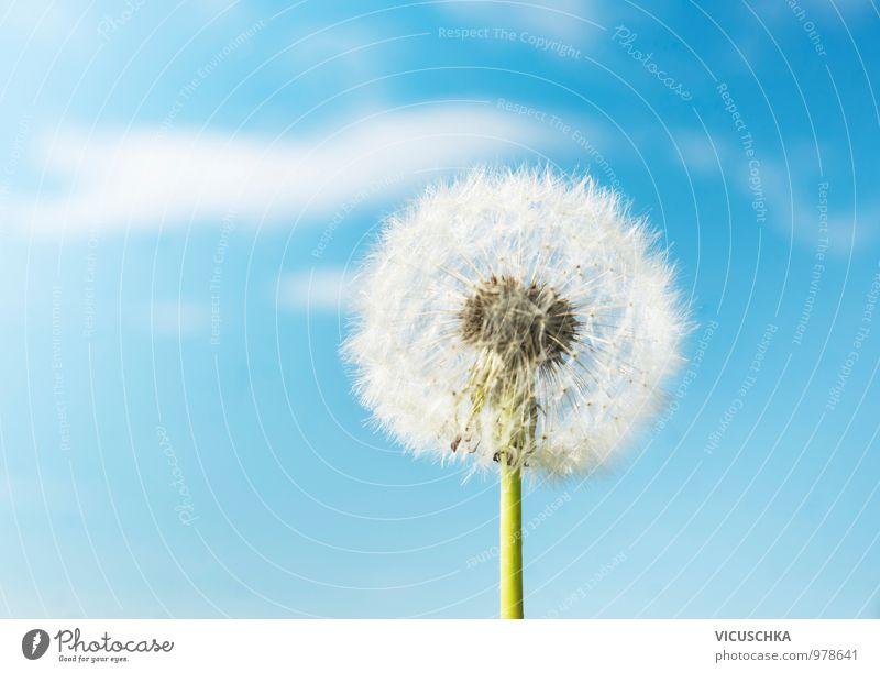 Flauschige Löwenzahn Blumen an Himmel Hintergrund Himmel Natur Pflanze blau Himmel (Jenseits) Sommer weiß Umwelt Wärme Frühling Wiese Hintergrundbild Garten hell springen Design