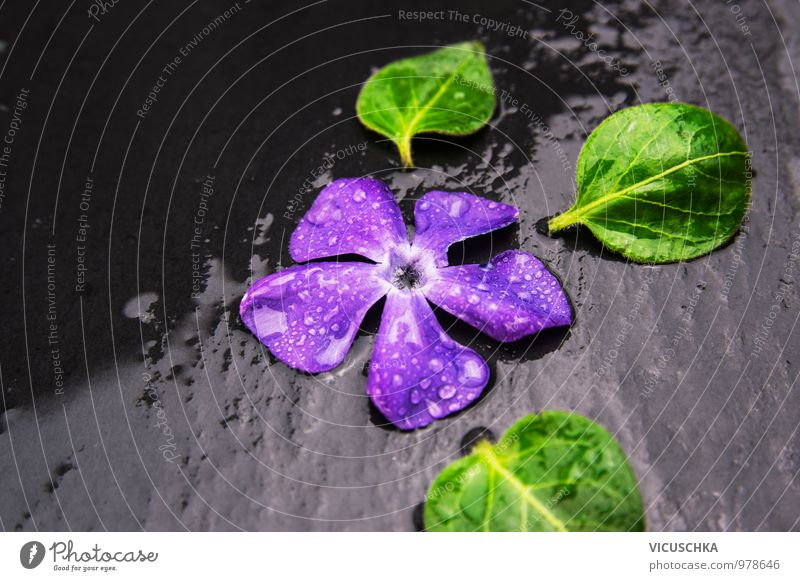 Immergrün Blüte mit Wasser Tropfen auf nassem Schiefer Natur Pflanze Sommer Blume Blatt dunkel Leben Herbst Frühling Stil Hintergrundbild Garten springen Regen