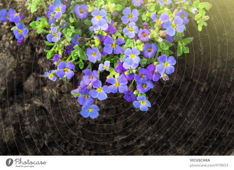 Lila Felsenkresse Blumen in Blumenbeet Natur blau Pflanze Sommer Sonne Blatt Blüte Frühling Stil Garten Park Freizeit & Hobby Erde Dekoration & Verzierung